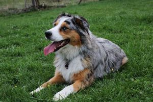 Pippin Australian Shepherd im Gras liegend
