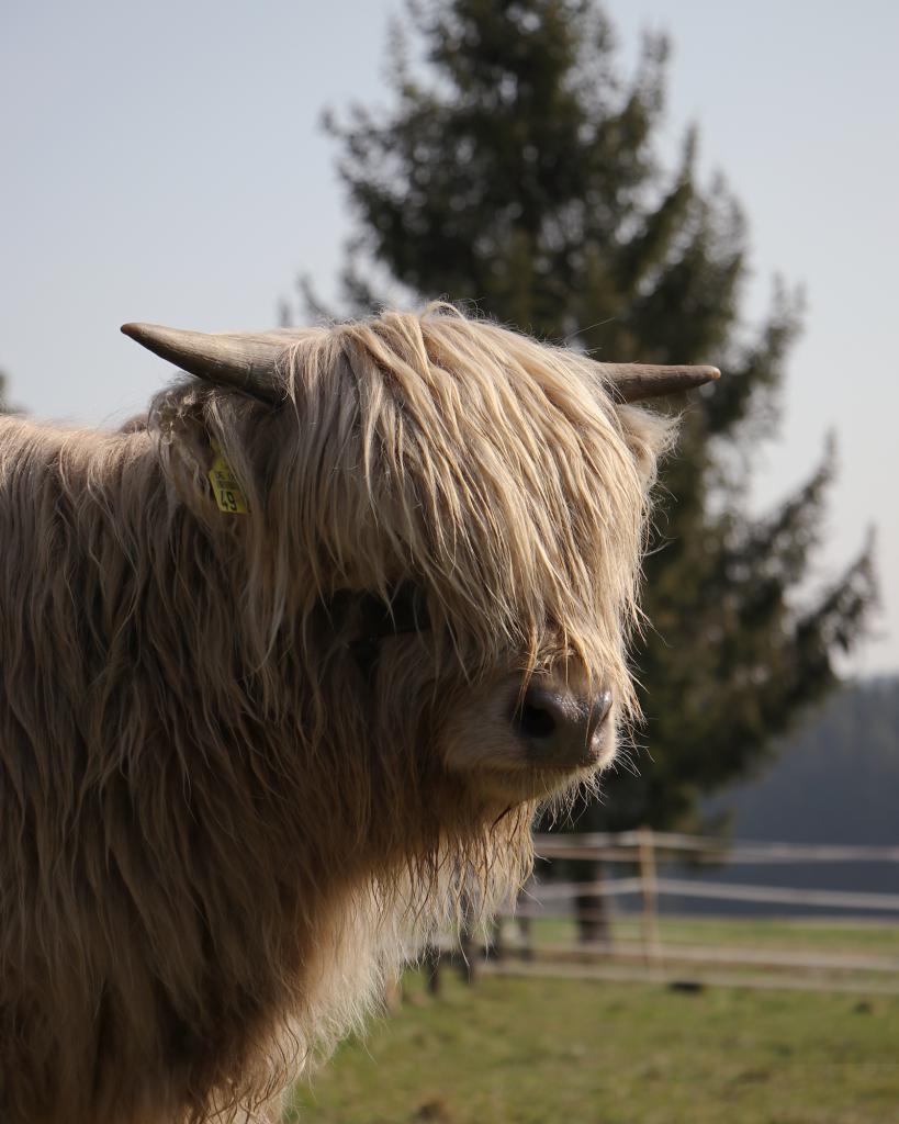 Schottische Hochland Rinder