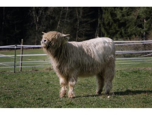 Schottisches Hochland Rindr